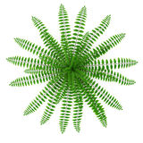 Fern isolated on white. Top view. 3D illustration Stock Photos