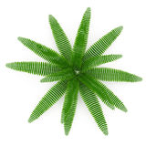 Fern isolated on white. Top view. 3D illustration Royalty Free Stock Photo