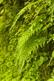 Fern in the jungle Royalty Free Stock Photo