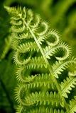 fern kędzierzawa Fotografia Stock