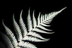 fern koru bliżej liści rośliny srebra nowej rodzima spirala w górę Do zdjęcia stock