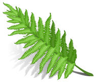 Fern leaf. Single fern leaf isolated on white background , vector illustration Stock Image