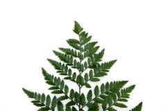 Fern Leaf Stockfotografie