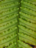 Fern leaf Royalty Free Stock Photography