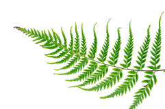 Fern leaf. With white background stock photos