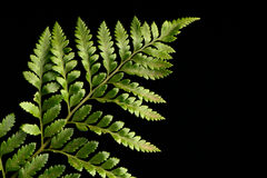 Fern leaf. Against a black background Royalty Free Stock Photography