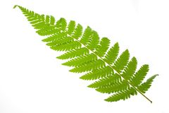 Fern leaf. Single fern leaf isolated on white background Royalty Free Stock Photo