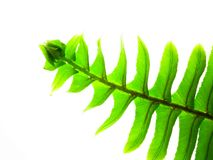 Fern Leaf. A New Zealand Fern leaf Stock Photography
