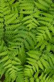Fern leaf. Close up fern leaf background Stock Photos