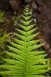 Fern leaf. A beautiful fern leaf in the undergrowth of a tropical rainforest Stock Photos