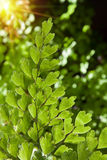 Fern leaf Stock Image