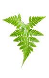 Fern leaf. Fern isolated on white background Stock Photos