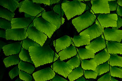 Fern leaf. Royalty Free Stock Image
