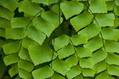 Fern leaf. Royalty Free Stock Images