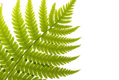 Fern Leaf Royalty Free Stock Image