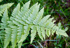 Fern Leaf Stockfotografie
