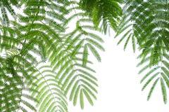 Fern Leaf Lizenzfreies Stockfoto