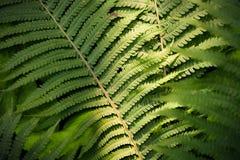 Fern Leaf Fotos de archivo libres de regalías