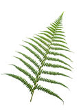 Fern-leaf. Isolated on white background,please have a look at my similar images about this theme Stock Photo