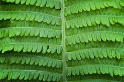 Fern Leaf Images libres de droits
