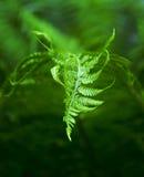 Fern Leaf Photos libres de droits