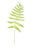 Fern Leaf Imagem de Stock Royalty Free