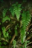 Fern Leaf Royalty-vrije Stock Afbeeldingen