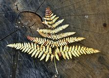 Fern Leaf Foto de Stock Royalty Free