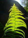 Fern Leaf stockbilder