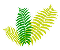 Fern leaf. An image showing three green and white color fern leaves on a white background Royalty Free Stock Photo