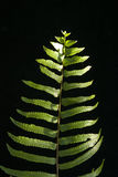 Fern Leaf Lizenzfreie Stockfotos