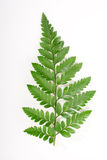 Fern leaf Stock Images
