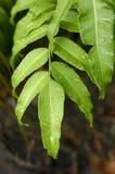 Fern Leaf Images stock