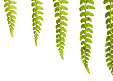 Fern-leaf. On white, with copy-space Royalty Free Stock Photography