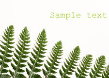 Fern-leaf. On white, with copy-space Stock Photos