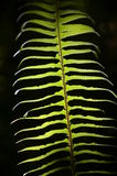 Fern Leaf Photographie stock libre de droits