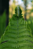 Fern Leaf Royaltyfri Fotografi