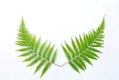 Fern Leaf Immagine Stock Libera da Diritti