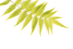 Fern Leaf Royalty-vrije Stock Foto
