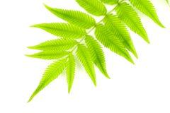 Fern Leaf Royalty-vrije Stock Fotografie