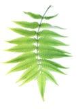 Fern Leaf Royalty-vrije Stock Foto's