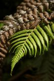 Fern Leaf stockfotos