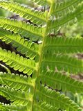 Fern Leaf fotografia de stock