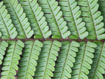 Fern Leaf Photo libre de droits
