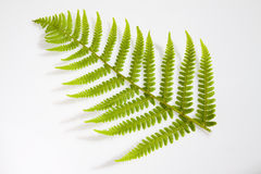 Fern leaf. Single young fern frond on a white background Royalty Free Stock Images