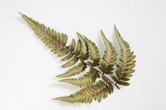 Fern leaf. Single young fern frond on a white background Stock Photos
