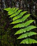 Fern Leaf Against Tree Bark. A bright green fern leaf against the rough bark of a tree trunk Royalty Free Stock Photos