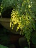 Fern Leaf australien-hairsfoot Photo stock