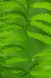 Fern leaf background Royalty Free Stock Photography