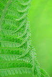 Fern leaf background Royalty Free Stock Image